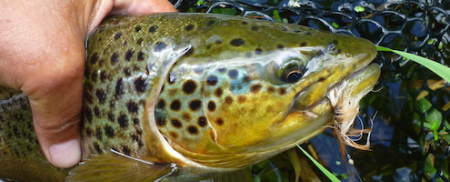 dryfly seatrpout on fly