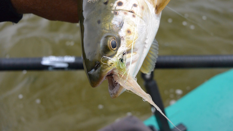 160703 udbyhoj test trout