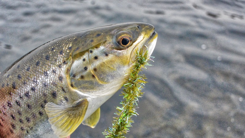 180409 mariager trout seaworm