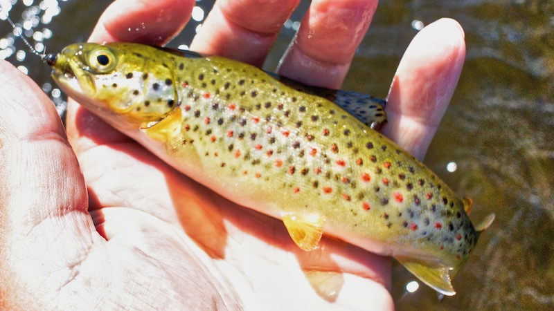 180703_lindstad_small_trout.jpg
