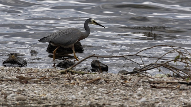 181120_taupo_white_faced_heron.jpg