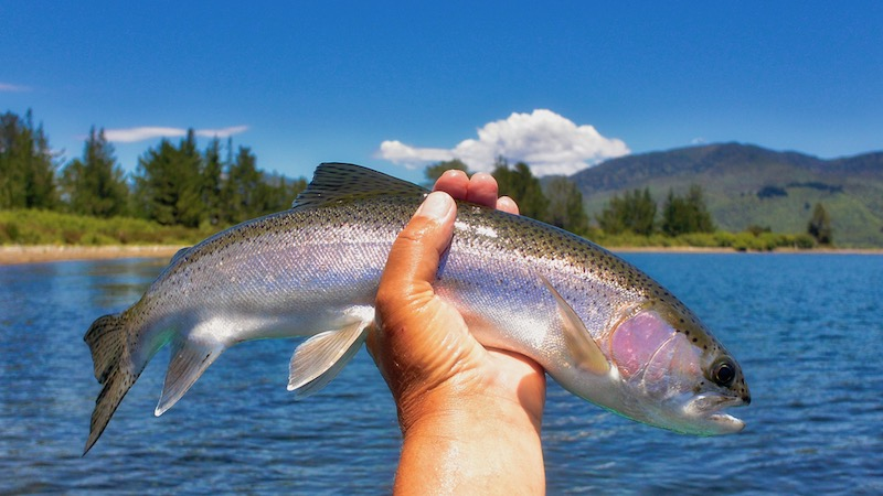 181209_taupo_syd__rainbow_trout.jpg