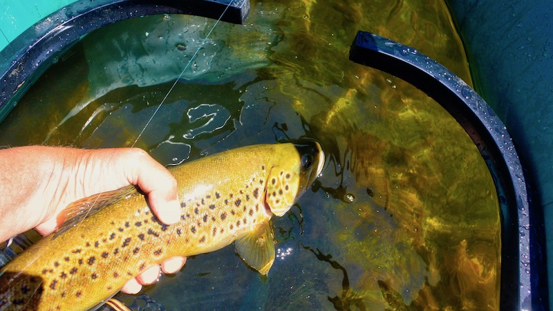 181225_opuha_brown_trout.jpg