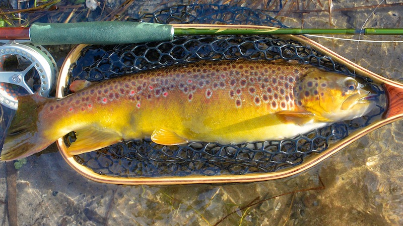 190208_milldam_brown_trout.jpg
