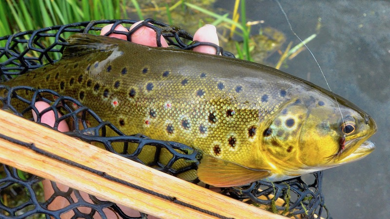 190810_milldam_brown_trout.jpg